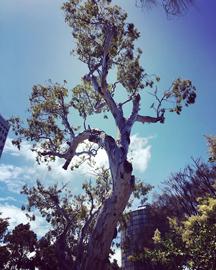Ngargee-tree